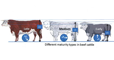Making sense out of maturity types in beef cattle